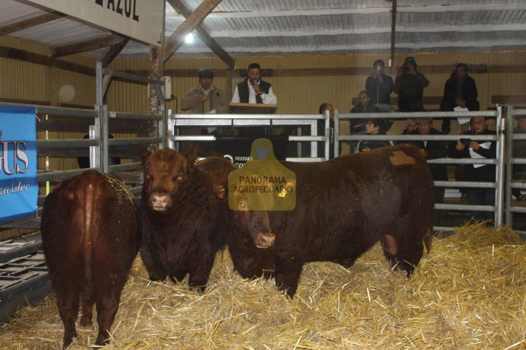 Pagaron hasta $ 52.000 por un toro Angus Puro Controlado